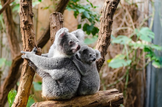 koala-1259681_960_720.jpg